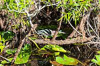US, Florida, Everglades. Anhinga Trail Boardwalk. Green Heron.