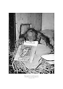 Baby orangutan Lucy checks out 'Ireland of the Welcomes' on her arrival at Dublin Zoo.<br />