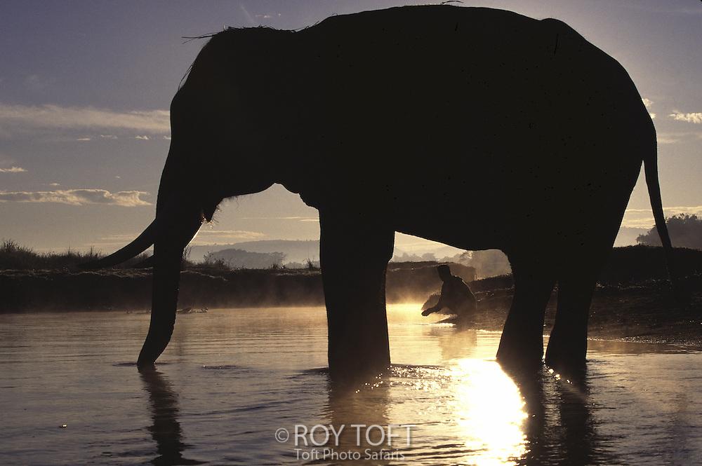 Indian elephant (Elephas maximus indicus), India