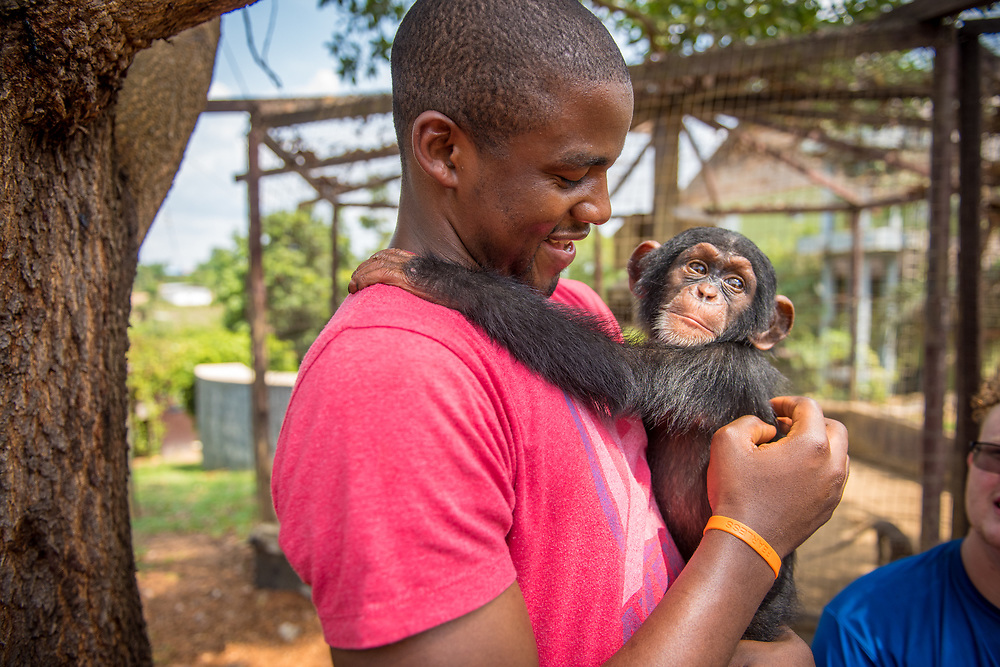 Young person of color holds baby chimpanzee (Pan troglodytes) Ganta Liberia