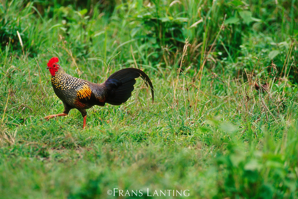 Red jungle fowl, Gallus gallus, Bandipur National Park, Western Ghats, India