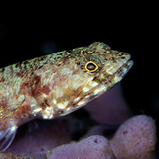 Reef Lizardfish, Synodus variegatus, waiting for prey on a sponge in Dumaguette, philippines..