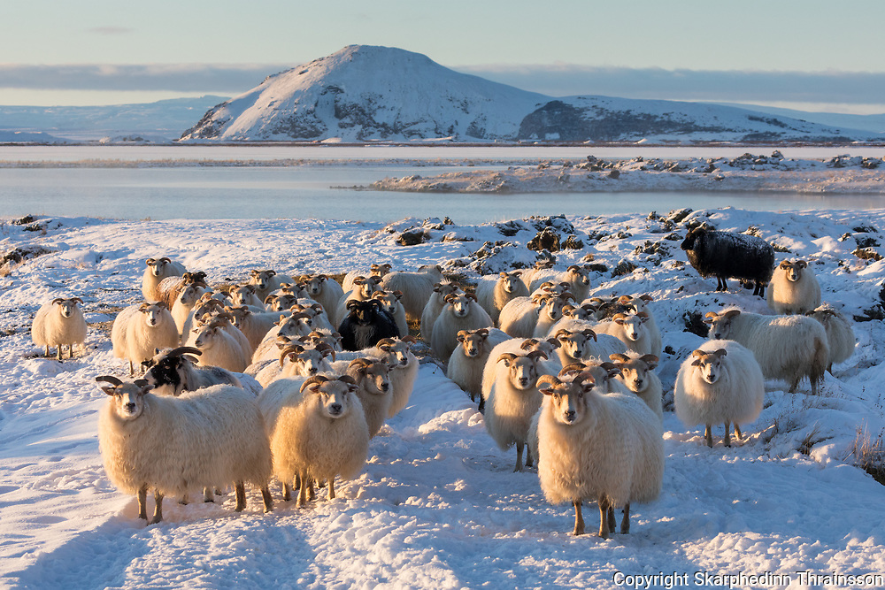 January 06 - The Icelandic sheep a Northern European short-tailed sheep. The fleece of the Icelandic sheep is dual-coated and occurs in white and a variety of other colors, including a range of browns, grays, and blacks.<br /> <br /> <br /> <br /> Icelandic Sheep