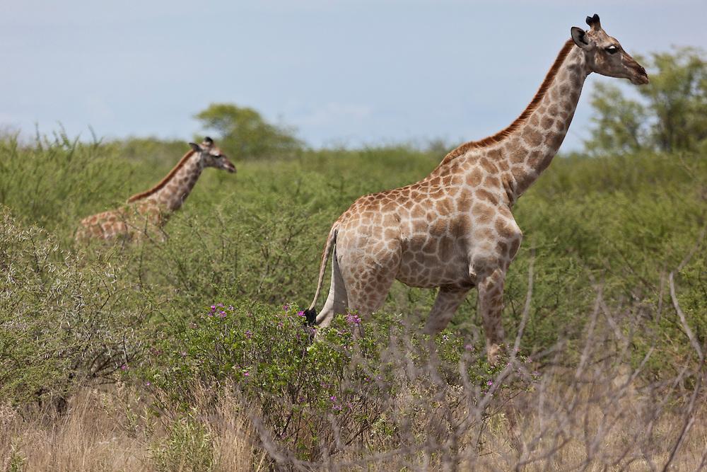 The classic Giraffe shot. Mother and baby Giraffe in Etosha N.P. Namibia.