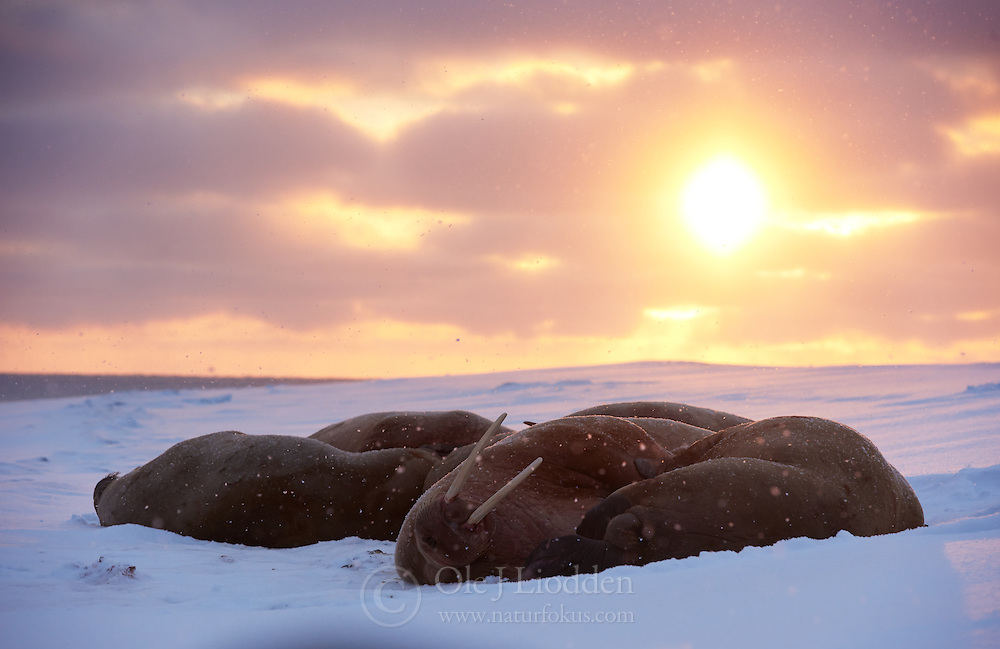 Walrus (Odobenus rosmarus) at Moffen Island, north of Spitsbergen, Svalbard, Norway