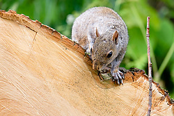 A Grey Squirrel (Scientific name Sciurus Carolinensison) on a felled tree in Graves Park Sheffield <br /> <br />  Copyright Paul David Drabble<br />  09 June 2019<br />  www.pauldaviddrabble.co.uk