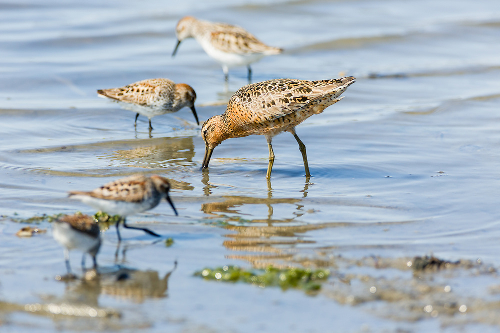 A Short-billed Dowitcher (Limnodromus griseus) forages with Western Sandpipers (Calidris mauri) in Mud Bay which is part of Kachemak Bay near the Homer Spit in Southcentral Alaska during their spring migration to the arctic. Afternoon.