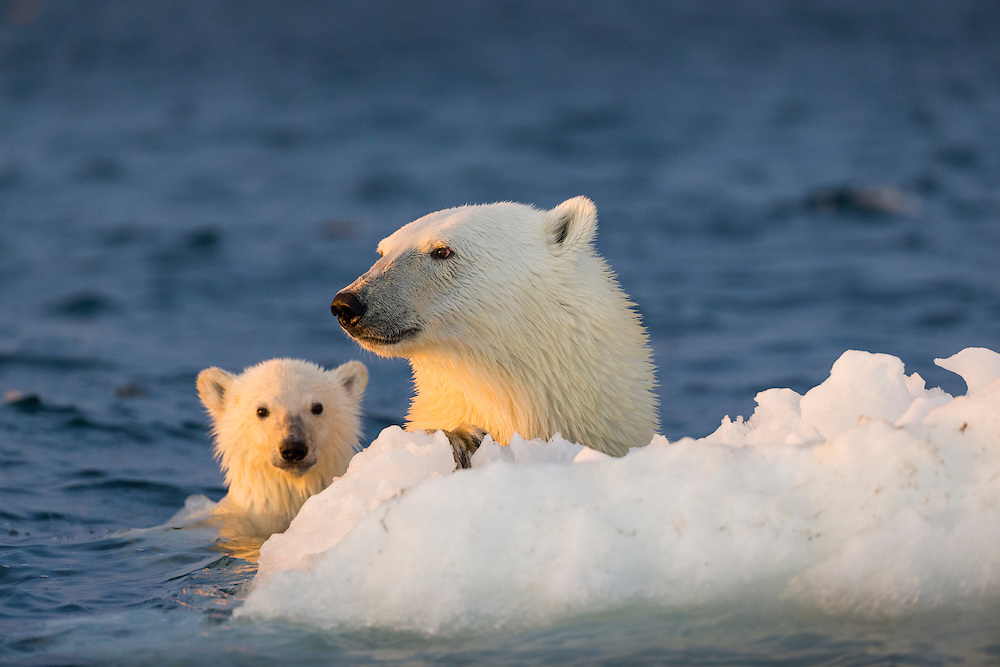 Canada, Nunavut Territory, Repulse Bay, Polar Bear and young cub (Ursus maritimus) floating clinging to iceberg near Harbour Islands at sunset