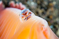 A Porcelain Crab perches on a colorful Sea Pen<br /> <br /> Shot in Indonesia