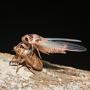 Cicada moulting to full adult. In the final phase of their development they then moult (shed their skins) on a nearby plant for the last time, and emerge as adults. The exuviae or abandoned exoskeletons remain, still clinging to the bark of the tree.