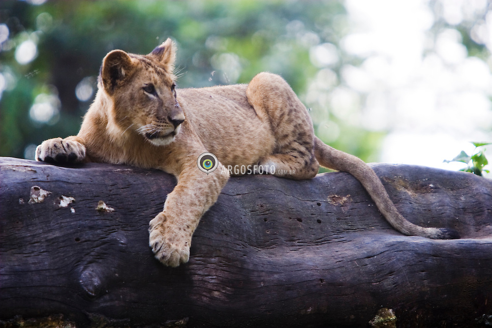 Lioness at Lake Nakuro National Park. The lioness (Panthera leo) is a member of the family Felidae and one of four big cats in the genus Panthera.. / Filhote de leao descanca em uma arvore do Parque Nacional Lago Nakuro no Quenia.