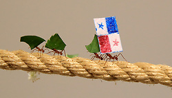 Leaf Cutter ants at Cannon Hall Farm in Yorkshire race along a rope carrying flags to predict the outcome of the World Cup match between England and Panama. The ants set off from the middle of a 36 metre length of rope, racing to see which team would be first to carry their flag back to the queen in their nest, with the England supporting ants being first to make it home, predicting a victory for England in their match on Sunday.