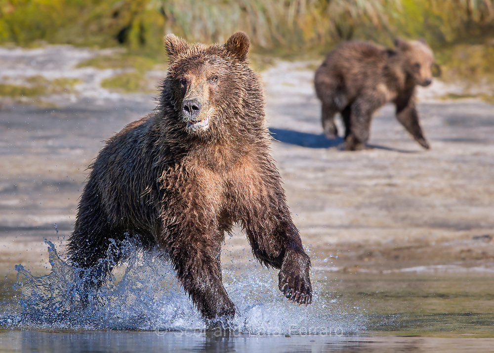 A mama brown bear hunts salmon while one of her two cubs anticipates it's next meal in the background.