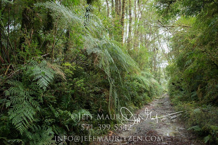 Path through the temperate rainforest in Laguna San Rafael National Park, Chile.