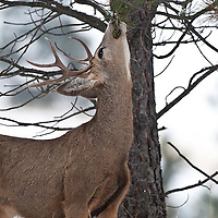 muledeer buck winter reaching streaching to eat fir pine and lichen from trees