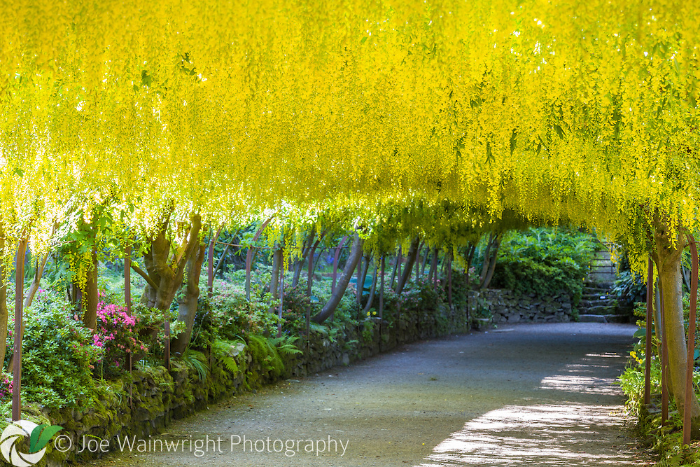 The Laburnum Arch at Bodnant Garden, North Wales, photographed in early June