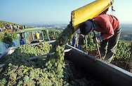 DEU, Germany, Rheingau, grape harvest at Johannisberg .....DEU, Deutschland, Rheingau, Weinlese am Johannisberg.........