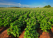 Potato field, red soil and wind turbines