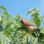 Cedar waxwing perched in a tree