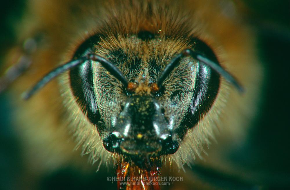DEU, Deutschland: Porträt von einer Honigbiene (Apis mellifera), Nahaufnahme | DEU, Germany: Honey bee (Apis mellifera), insect portrait, close-up |