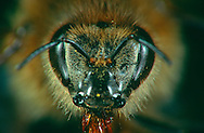 DEU, Deutschland: Porträt von einer Honigbiene (Apis mellifera), Nahaufnahme | DEU, Germany: Honey bee (Apis mellifera), insect portrait, close-up |