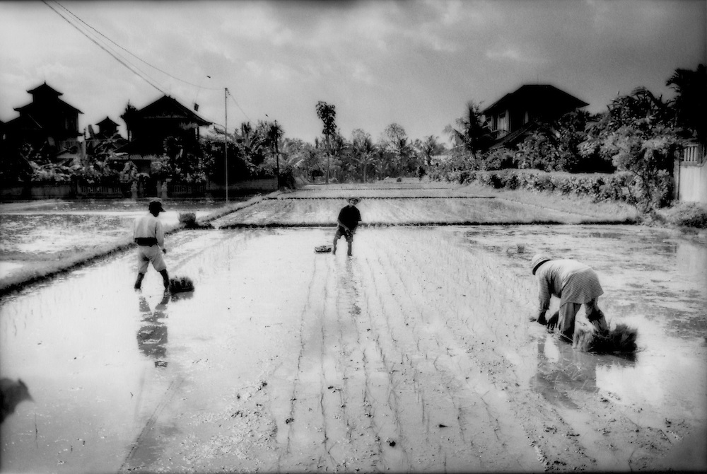 Farmers plant rice in paddies completely hemmed in by new houses and inns in Ubud, Bali, Indonesia, which has quickly expanded over the past decade.