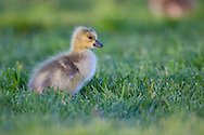 A Canada Gosling grazes in the short grass.  He stops periodically to peer about.