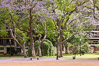 ARBOLES DE JACARANDA FLORECIDOS, CIUDAD DE BUENOS AIRES, ARGENTINA (PHOTO © MARCO GUOLI - ALL RIGHTS RESERVED)