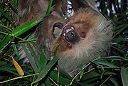 Two-toed Sloth. Ecuador. (Choloepus didactylus)