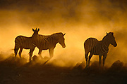 Thirsty zebras wait to drink at a waterhole lit by the fiery glow of the setting sun and the dust of stampeding animals, spooked by a resident lion pride. Okaukuejo waterhole, Etosha National Park, Namibia