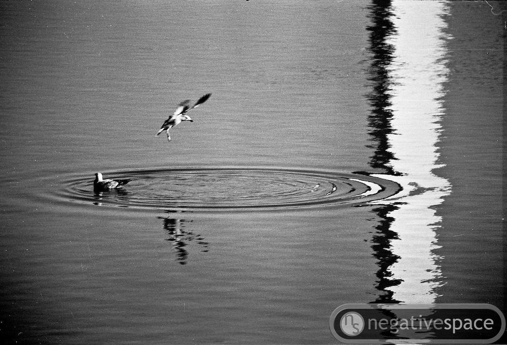 Birds taking a dip in the Tidal Basin, Washington, DC