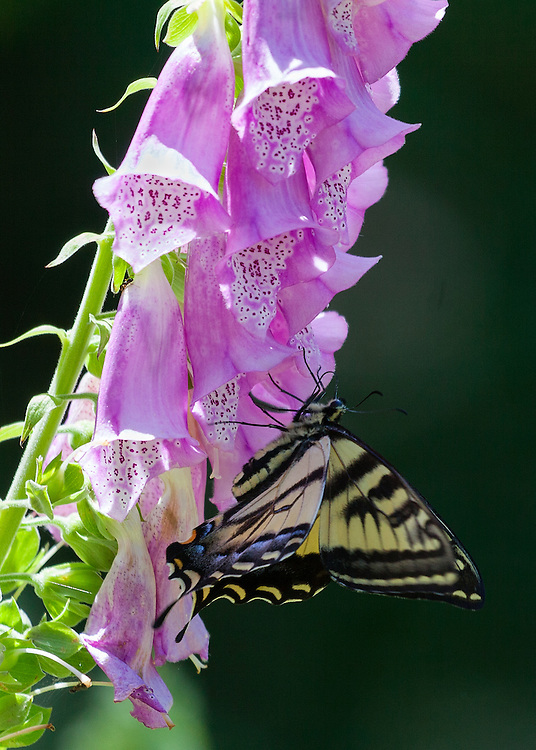 Western Tiger Swallowtail on foxglove in the Mount Baker-Snoqualmie National Forest, Washington State