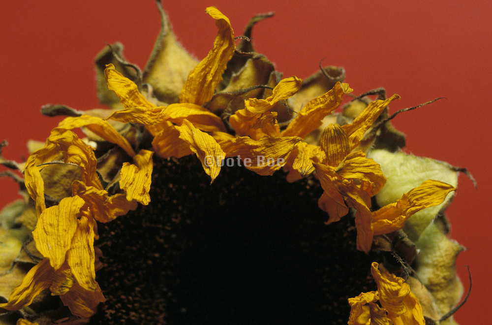 Close up of a dried sunflower