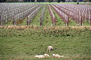 26-10-2017, Nederland, Altforst In het Land van Maas en Waal worden verschillende boerenbedrijven getroffen door moedwillige vernieling aan onder andere hun fruitbomen. Bij een tuinder zijn vorige week 2500 appelbomen doorgezaagd. Het verschil tussen de inmiddels afgestorven bruine en de gezonde groene boompjes is goed zichtbaar. Het is een soort van terreur die doet denken aan een wraakactie. In het nabije verleden zijn door ruilverkaveling jagers in dit gebied vergunningen kwijtgeraakt. Foto: Flip Franssen