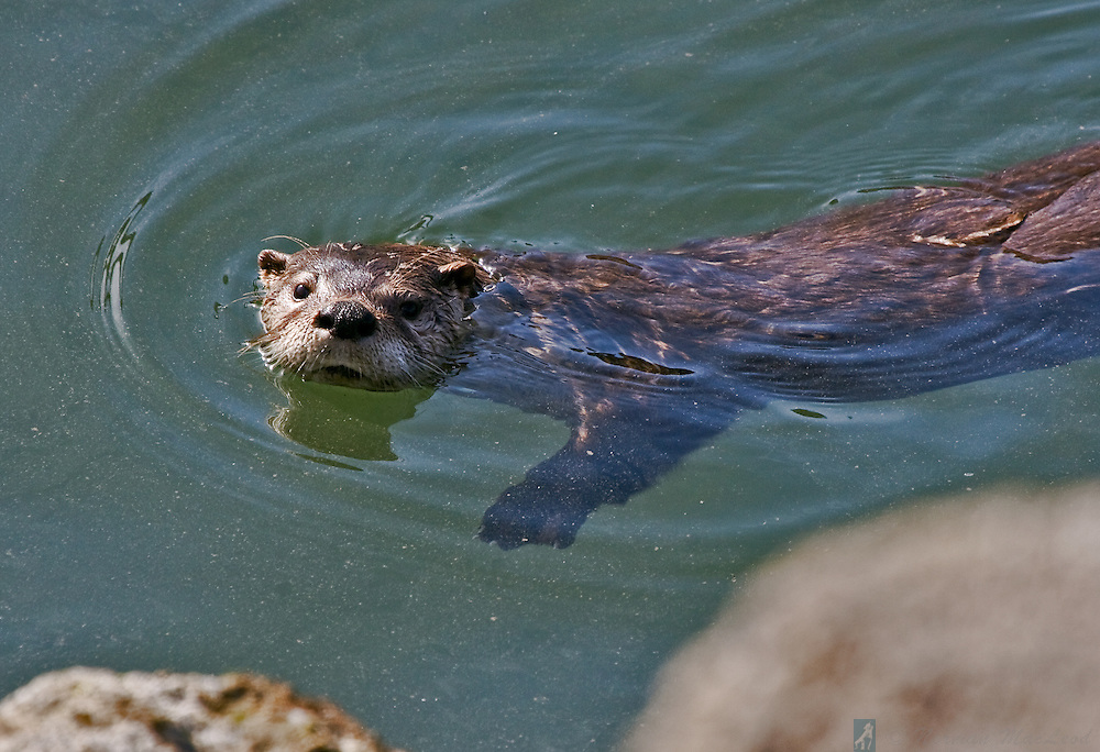 Otter paddling by, taking a close look at the photographer