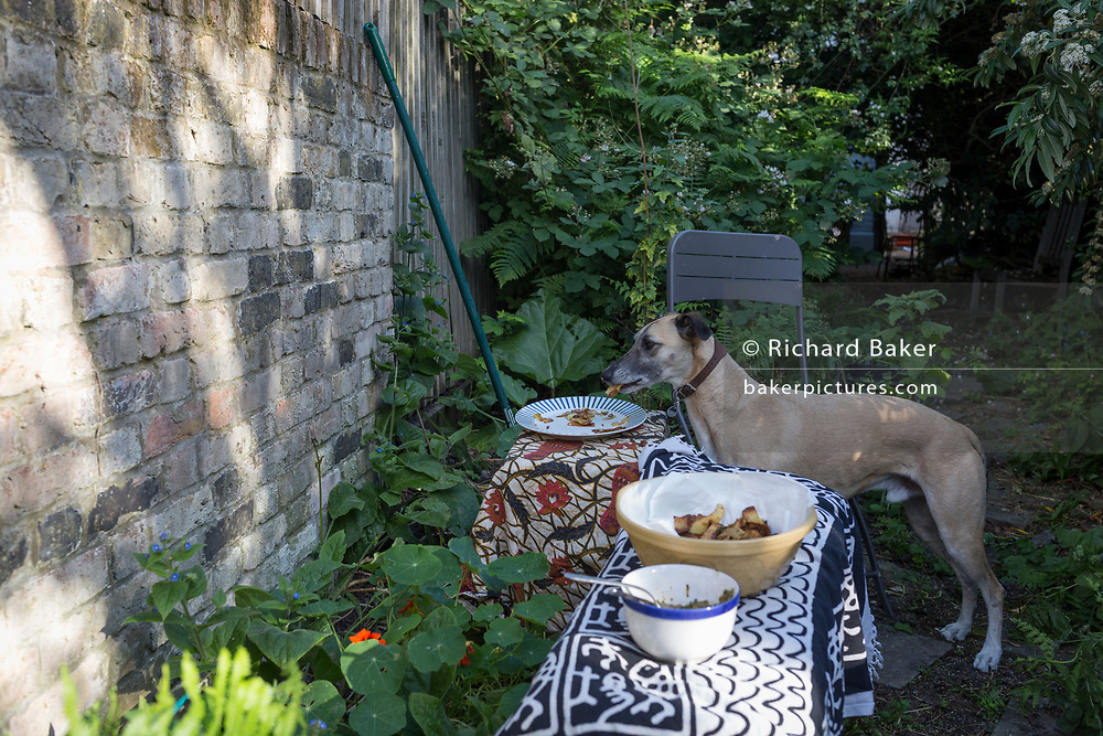 When its owner is elsewhere, a pet lurcher dog steals picnic snacks from a plate in the wild garden of a south London house, on 20th June 2020, in London, England.