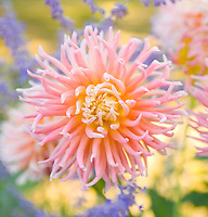 Dahlias closeup&#xA;<br />