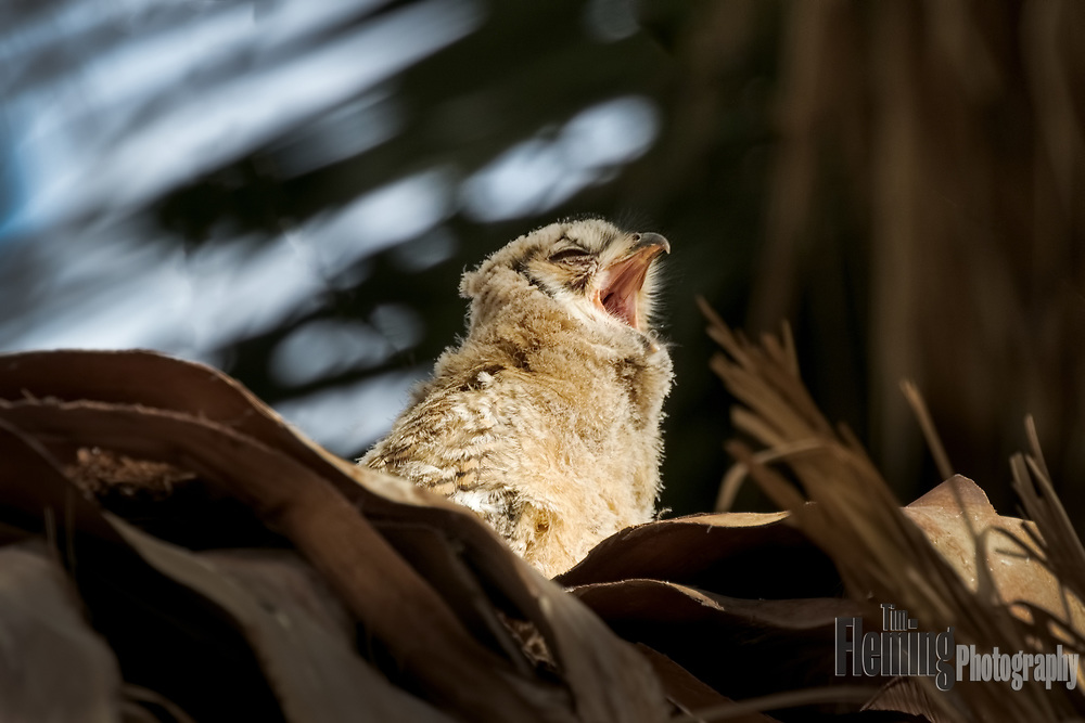 Great Horned Owl nestling yawning, Coachella Valley Preserve, Riverside County, California
