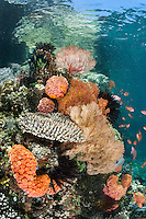 Hard Corals and Gorgonians thrive in the shallows under a limestone islet<br /> <br /> Shot in Indonesia