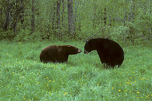 Black Bear, (Ursus americanus) Minnesota, cinnamon sow attacks young male for getting too close to cubs.