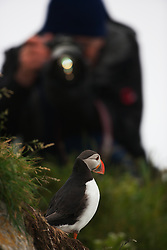 Lundefugl (Fratercula arctica) with photographer in the background, Hornøya, Varanger, Norway