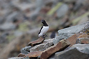 Little Auk perched on rock, Svalbard.