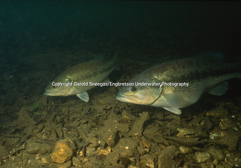 Spotted Bass (Female and male spotted bass over a spawning site in a Flint Hills stream.)<br /> <br /> Garold Sneegas/Engbretson Underwater Photography