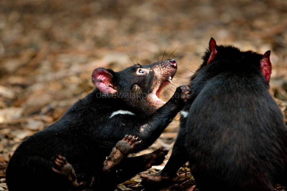 Captive Tasmanian Devils  have fun at Tasmanian Devil Conservation Park, near Taranna, Tasmania, Australia.....Most of the devils I photographed over the last week were either recovering from injuries, or orphans, seperated from parents suffering from the Tasmanian Devil Facial Tumor Disease, which is a contagious cancer.