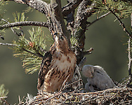 Adult female red-tailed hawk alert while standing with her downy nestling on nest in ponderosa pine tree, © 2011 David A. Ponton