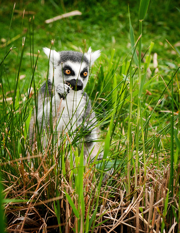 Lemur diets are highly variable.  Larger species are more herbivorous, consuming mostly plant material.