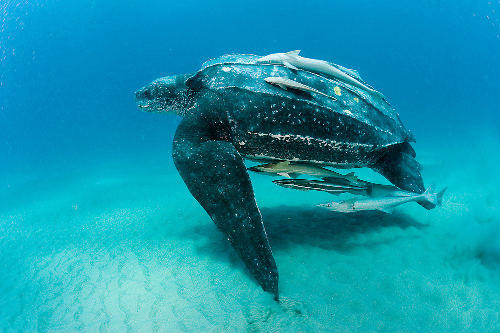 Female Leatherback Sea Turtle (Dermochelys coriacea) photographed in shallow near Singer Island, FL. The Leatherback is one of the world's largest reptiles, reaching close to 2,000 lbs. and nearly 10 ft. in length. Severely endangered, the species is threatened by coastal development, poaching and entanglement with fishing equipment. Image available as a premium quality aluminum print ready to hang.