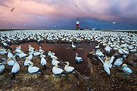 Cape Gannet breeding colony at dawn, Bird Island, Algoa Bay, Eastern Cape, South Africa