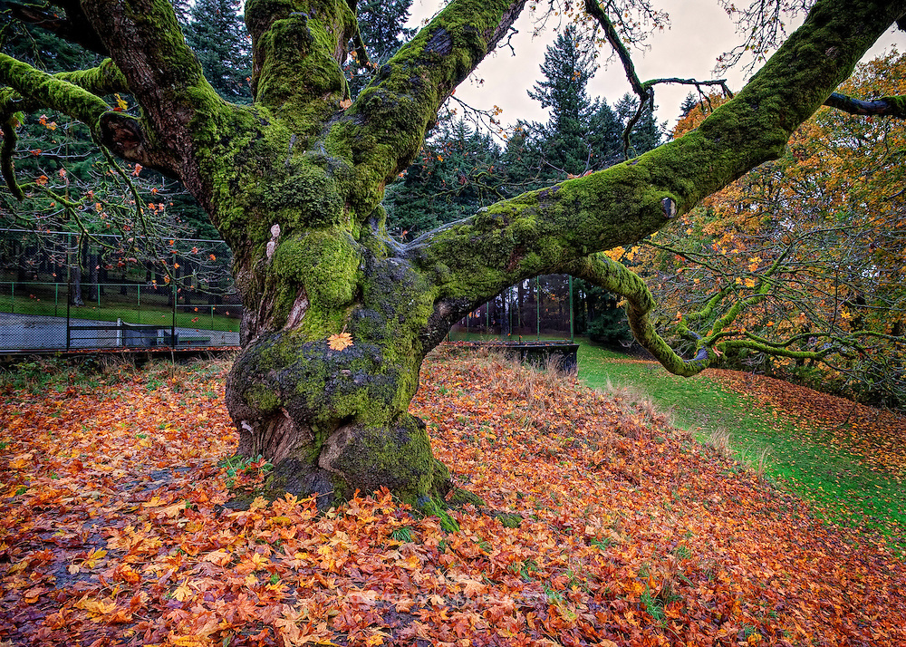 Oak tree at the tennis courts, Mount Tabor Park, Portland, Oregon, USA. In 1903, John Charles Olmsted of the Massachusetts-based landscape design firm Olmsted Brothers recommended that a city park be developed at Mount Tabor.  Portland Parks Superintendent Emanuel T. Mische, who had worked at Olmsted Brothers, consulted with Olmsted on the park layout and integration of the reservoirs into the park design.