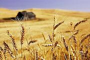 Idaho-Latah County, rolling wheatfields for the Palouse area of Latah Co. Idaho. #1046